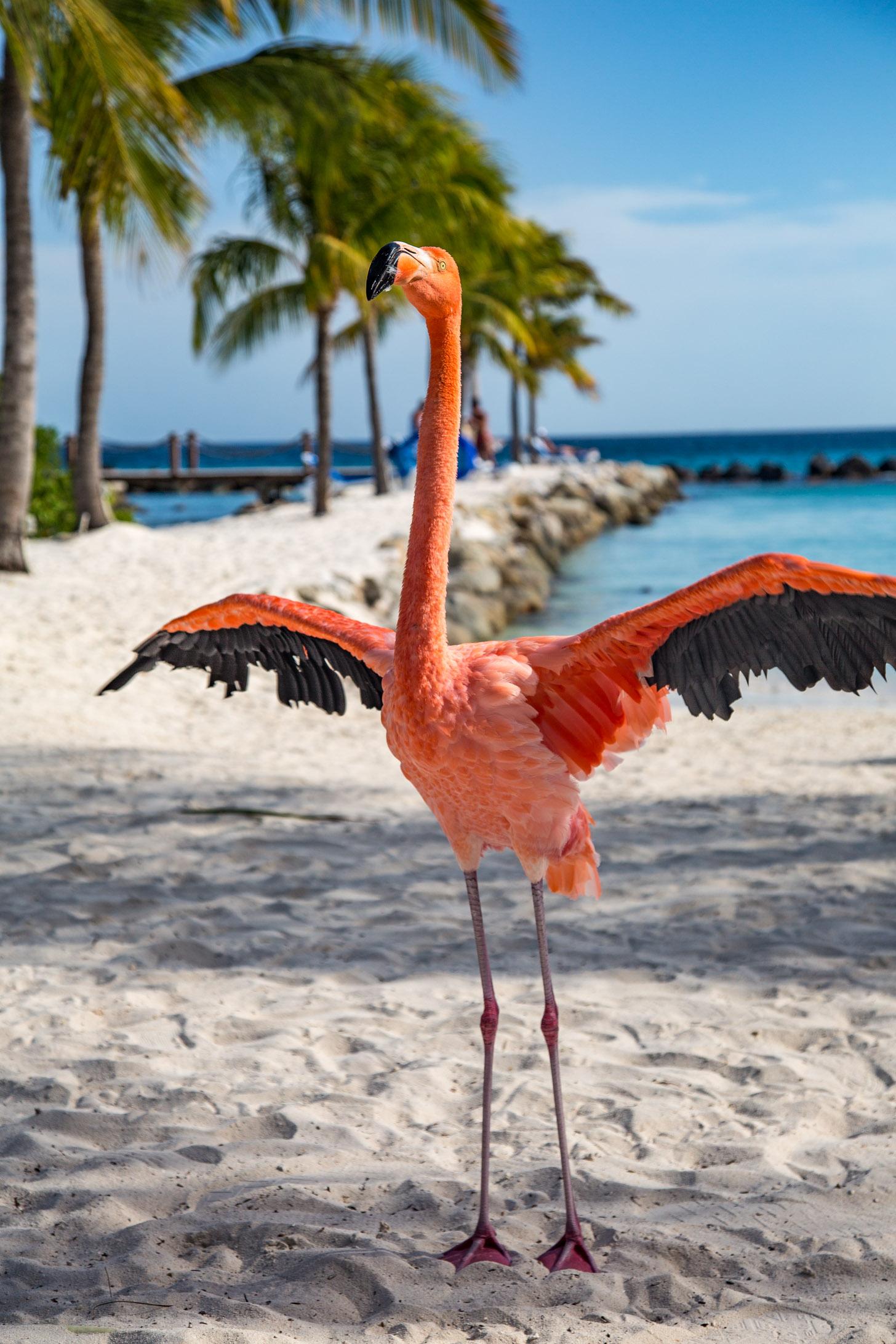 Een tamme flamingo op Aruba.