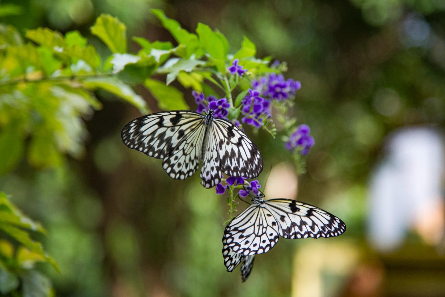 Vlinders in de vlindertuin van Aruba
