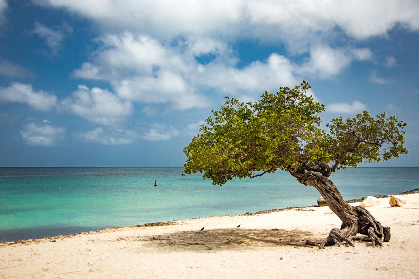een fofoti, ook wel divi-boom genoemd, op Eagle Beach